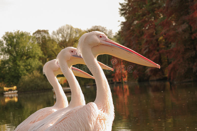 Drie Rosy Pelicans in Luise Park in Mannheim, Duitsland, Autu royalty-vrije stock foto's