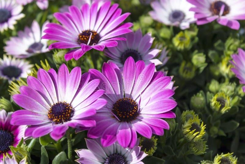 Drie roze chrysanten op zonnige de lentedag stock fotografie