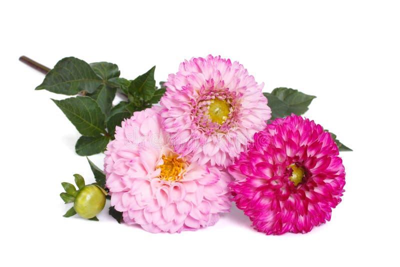Drie roze die dahlia's met knoppen op wit worden geïsoleerd stock fotografie