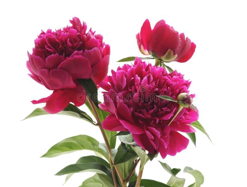 Drie roze pioenen stock fotografie