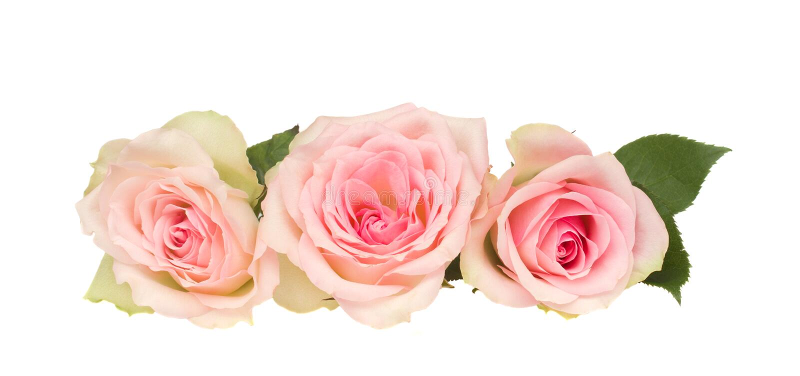 Drie roze rozen royalty-vrije stock fotografie