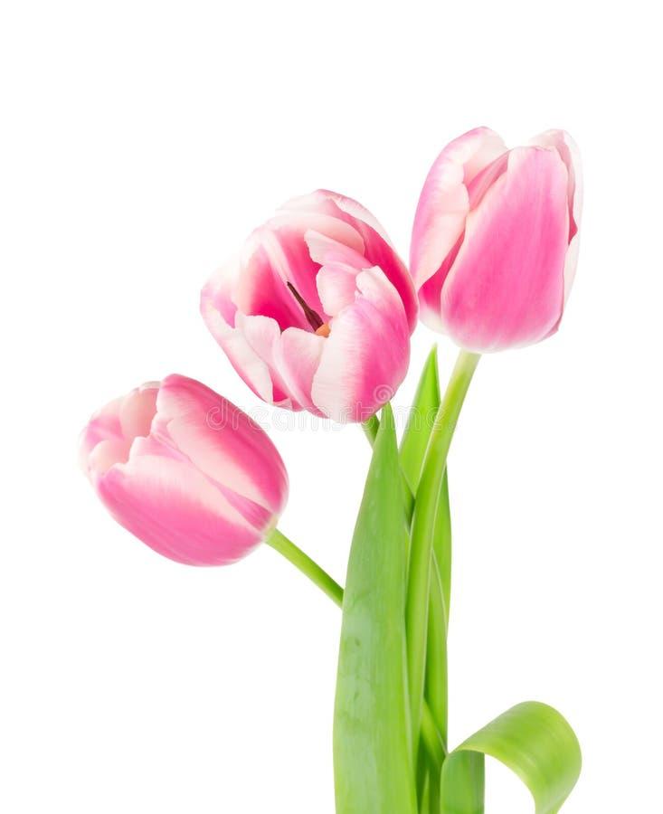 Drie roze tulpen stock afbeelding