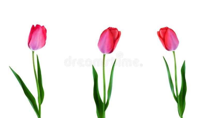 Drie roze tulpen die op een rij op witte achtergrond worden geïsoleerd royalty-vrije stock fotografie