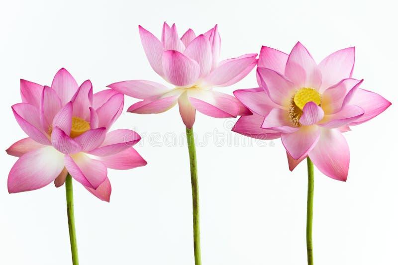 Drie roze waterleliebloem (lotusbloem)   royalty-vrije stock afbeelding