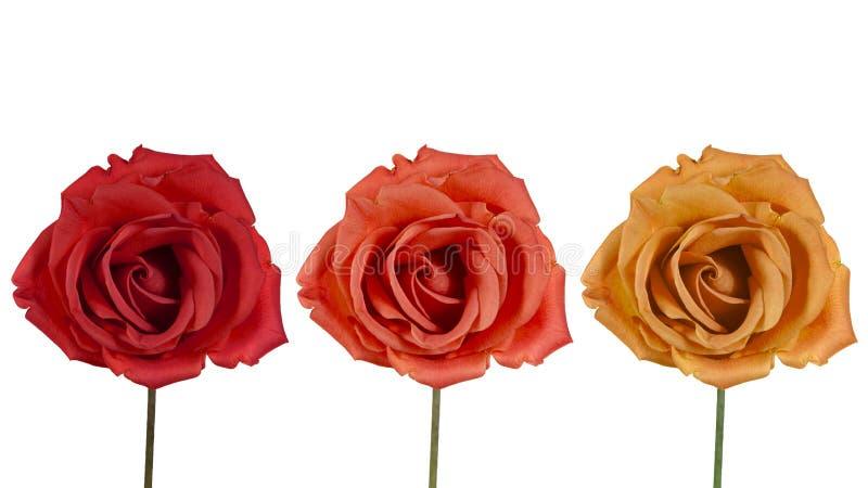 Drie rozen op een witte achtergrond royalty-vrije stock fotografie