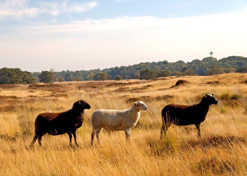 Drie schapen royalty-vrije stock foto's