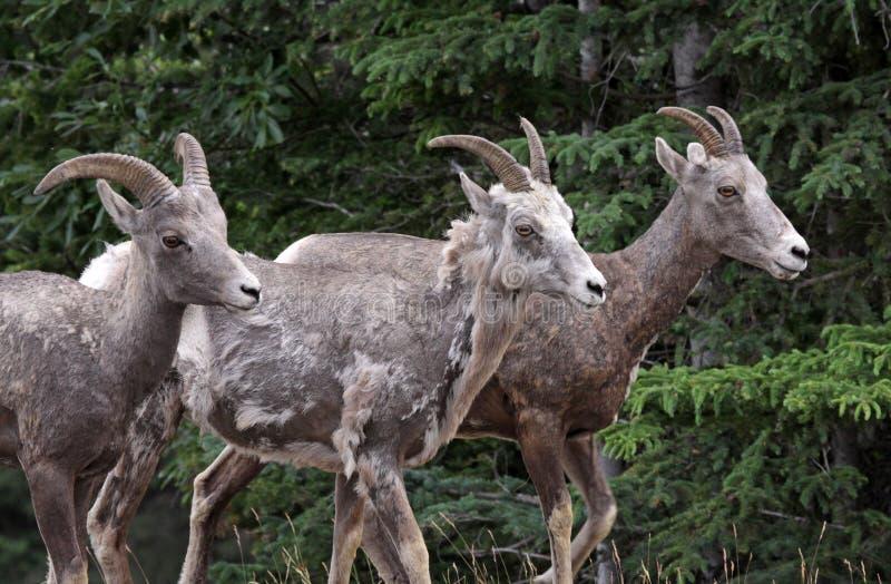 Drie Schapen Bighorn stock afbeelding