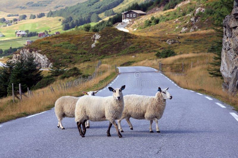 Drie schapen die de weg in Noorwegen kruisen stock afbeelding