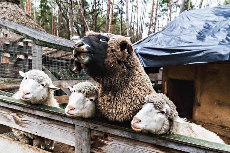Drie schapen en de ram in een pen stock afbeeldingen