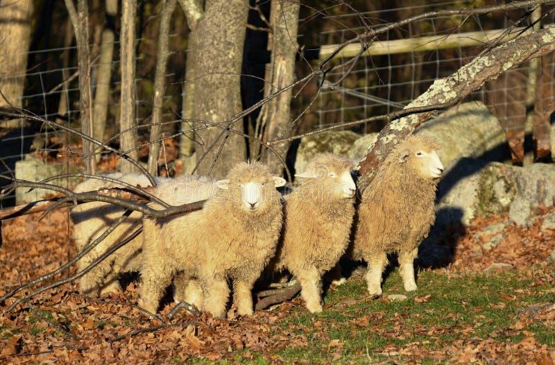 Drie schapen gebruiken een gevallen boom om hun ruggen te krassen royalty-vrije stock afbeelding
