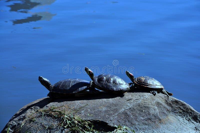 Drie schildpadden op de rots royalty-vrije stock afbeelding