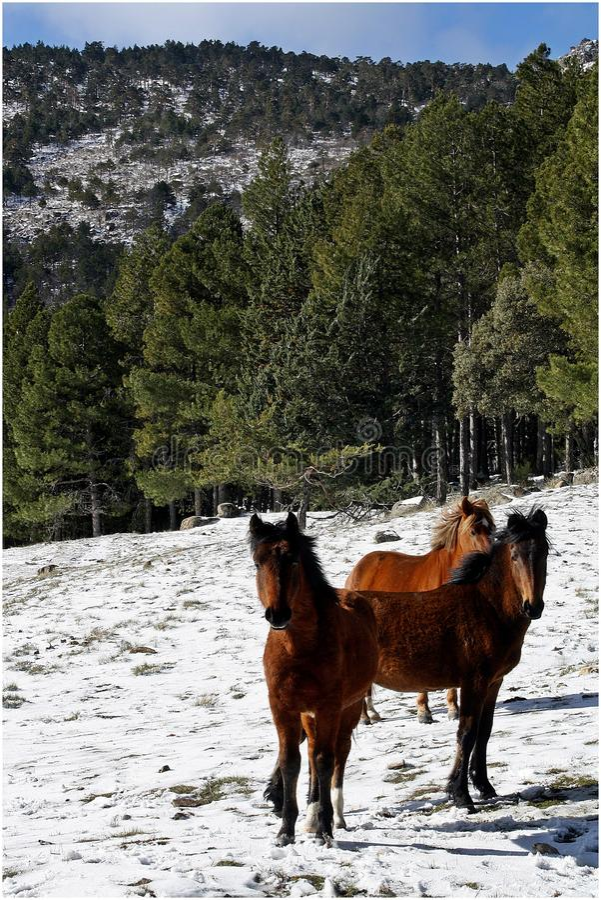 Drie Spaanse paarden in een sneeuwbos stock foto's