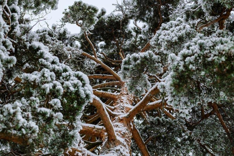 Drie sparren in het de winterpanorama in Rusland stock afbeeldingen