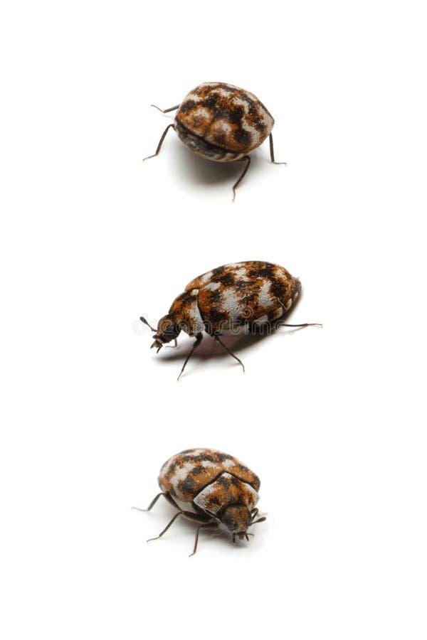 Drie tapijtkevers, die op wit worden geïsoleerdn royalty-vrije stock foto's