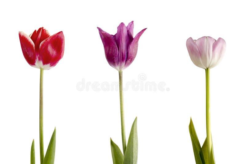 Drie tulpen op een witte achtergrond royalty-vrije stock foto