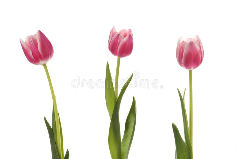 Drie tulpen op een witte achtergrond royalty-vrije stock fotografie