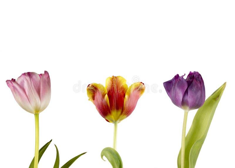 Drie tulpen op een witte achtergrond royalty-vrije stock foto's