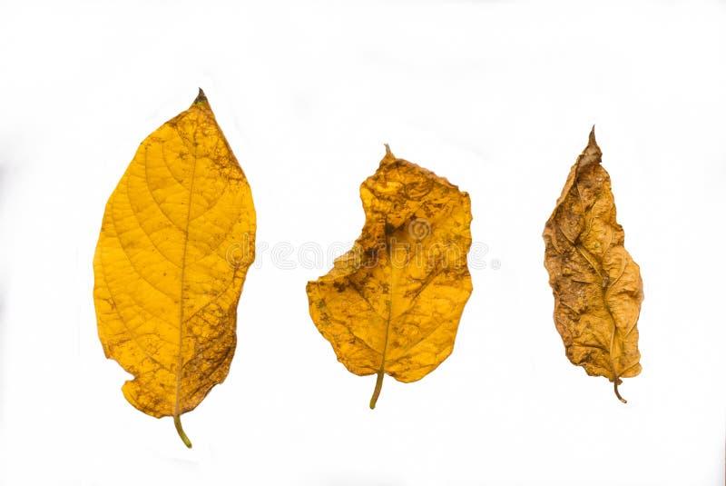 Drie van droge bladeren s isolatedon de witte achtergrond stock foto