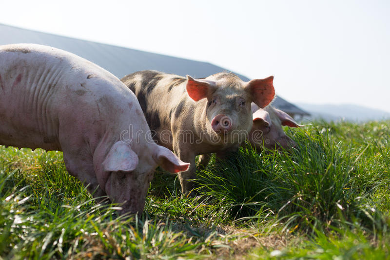Drie varkens in gras royalty-vrije stock afbeelding
