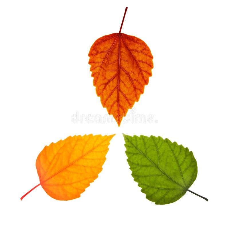 Drie verschillende bladeren royalty-vrije stock foto
