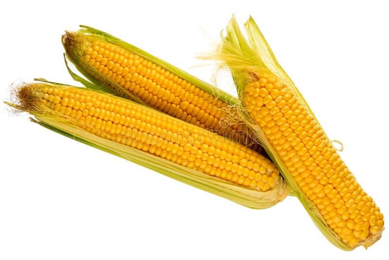 Drie verse maïskolven van graan royalty-vrije stock foto