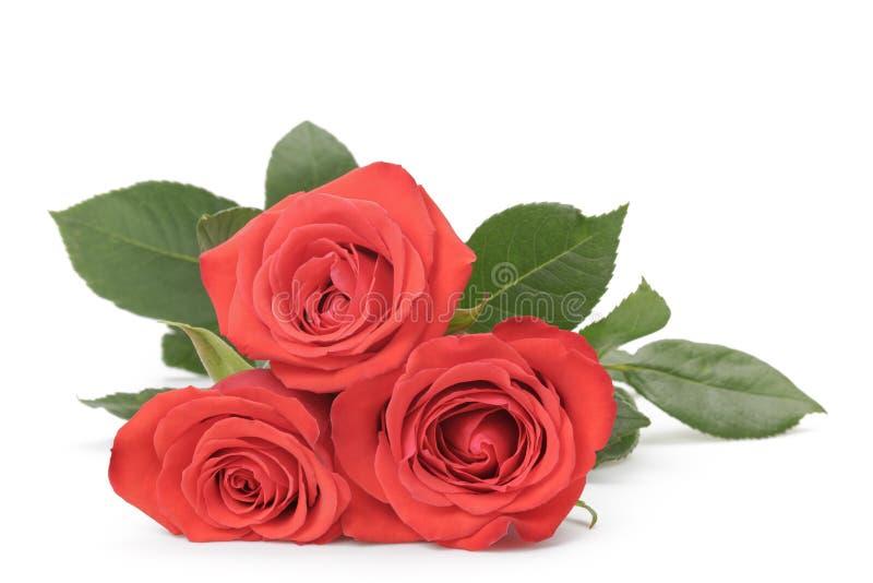 Drie verse rode die rozen op wit worden geïsoleerd royalty-vrije stock afbeelding