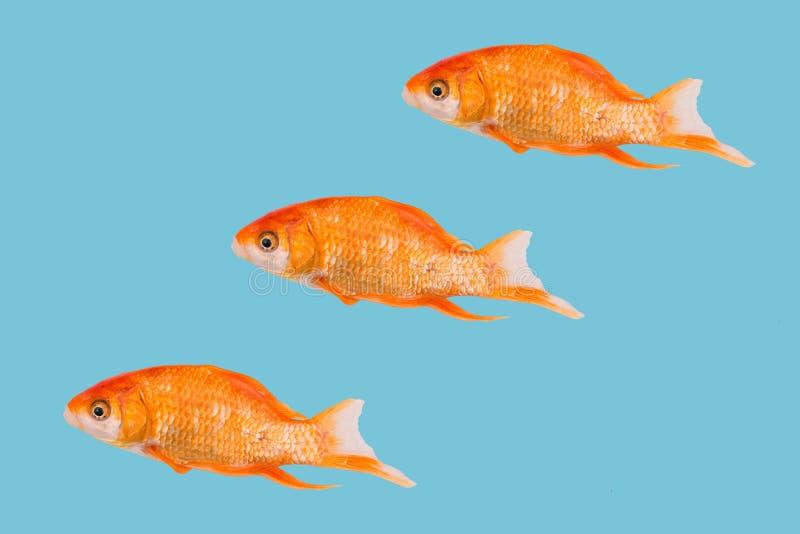Drie vissen van gouden kleur op een blauwe achtergrond Kleurrijke op een rij geschikte vissen Modern art stock illustratie