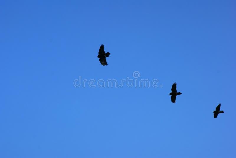 Drie vogels die in lijn tegen een blauwe hemel vliegen stock afbeelding
