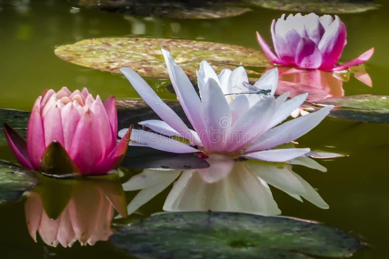 Drie waterlelies worden weerspiegeld in de vijver Een libel of een damselfly zitten op een lichte waterlelie of lotusbloembloem stock fotografie