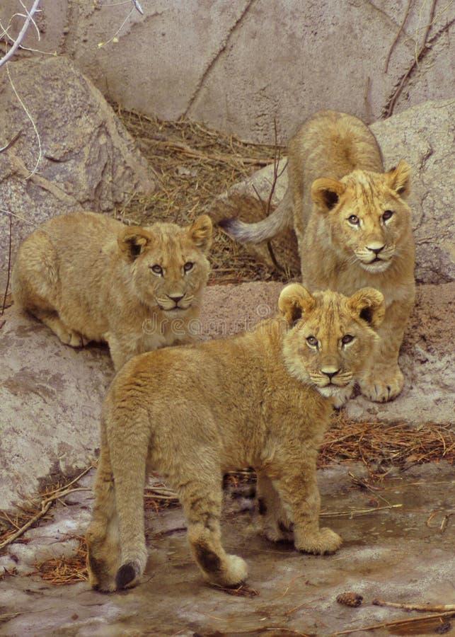 Drie Welpen van de Leeuw stock afbeelding