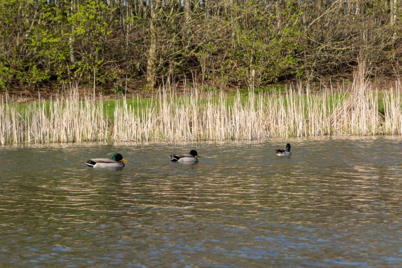 Drie wilde eendeenden zwemmen op een vijver in een park stock afbeelding