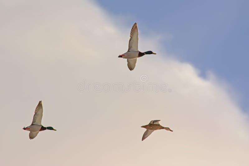 Drie wilde eenden tijdens de vlucht, lage engelenmening stock afbeeldingen