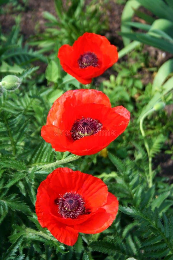 Drie wilde rode papaversbloei royalty-vrije stock afbeelding