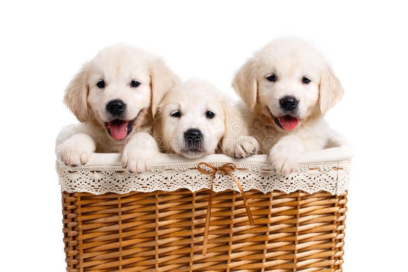 Drie wit Labrador puppy in een rieten mand royalty-vrije stock afbeelding