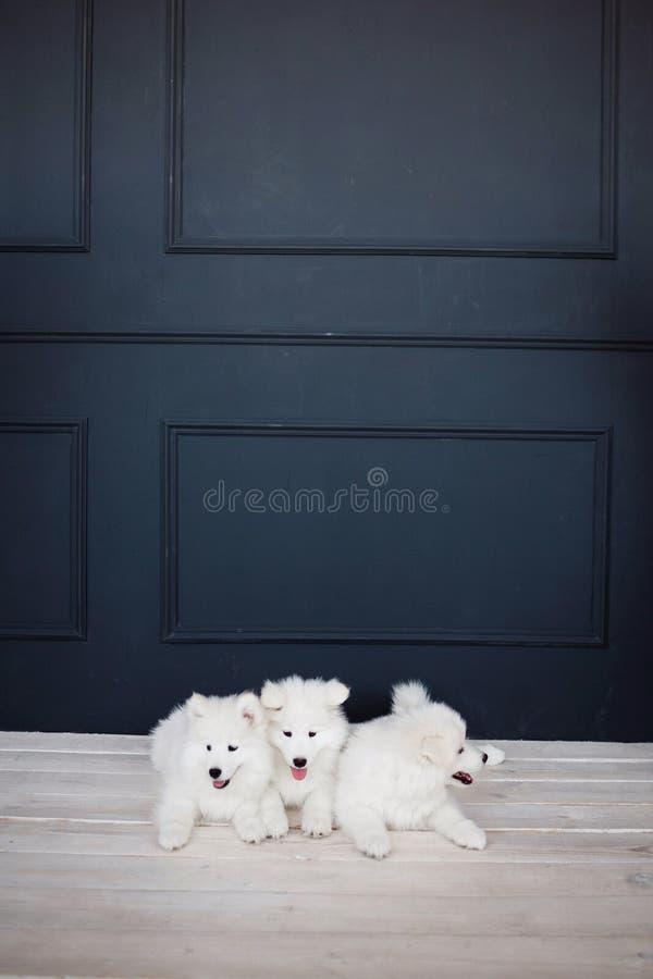 Drie wit pluizig Samoyed puppy stock afbeeldingen