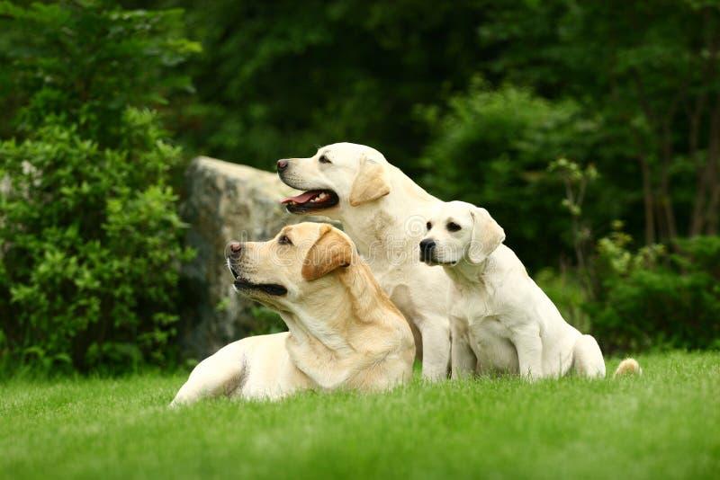 Drie witte honden royalty-vrije stock foto
