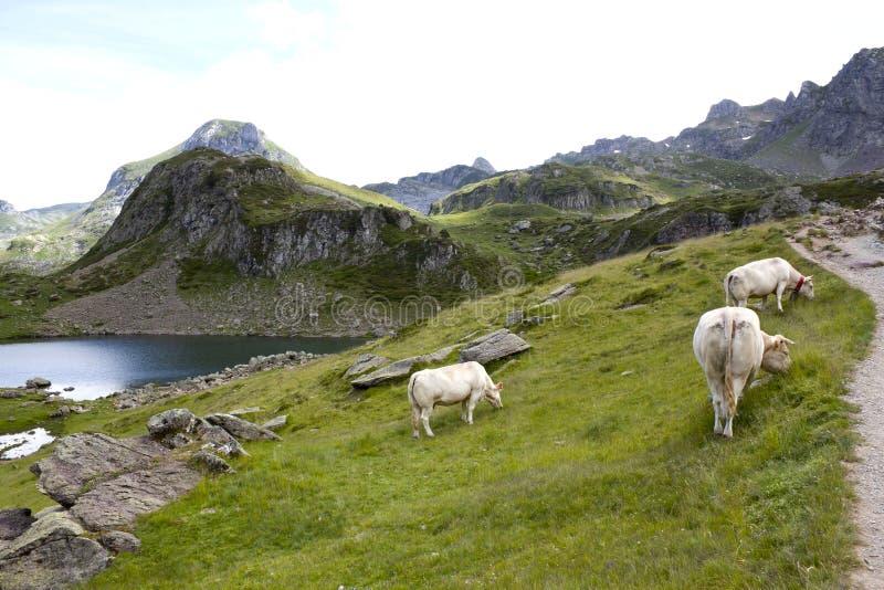Drie witte koeien die op een gebied in de Pyreneeën weiden royalty-vrije stock afbeeldingen