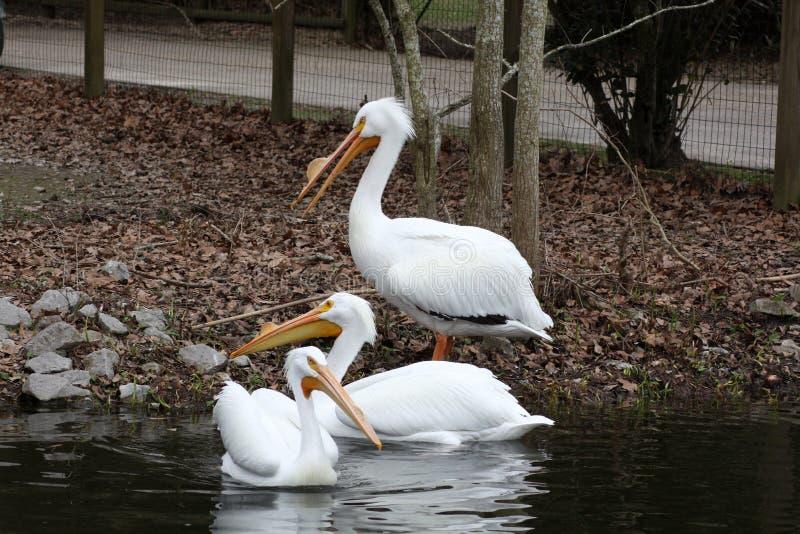 Drie witte pelikanen in het water stock afbeelding