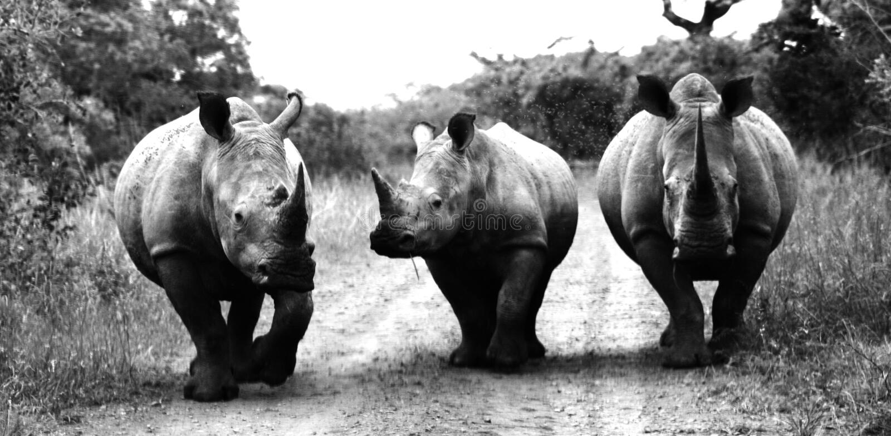 Drie witte rinocerossen royalty-vrije stock afbeelding