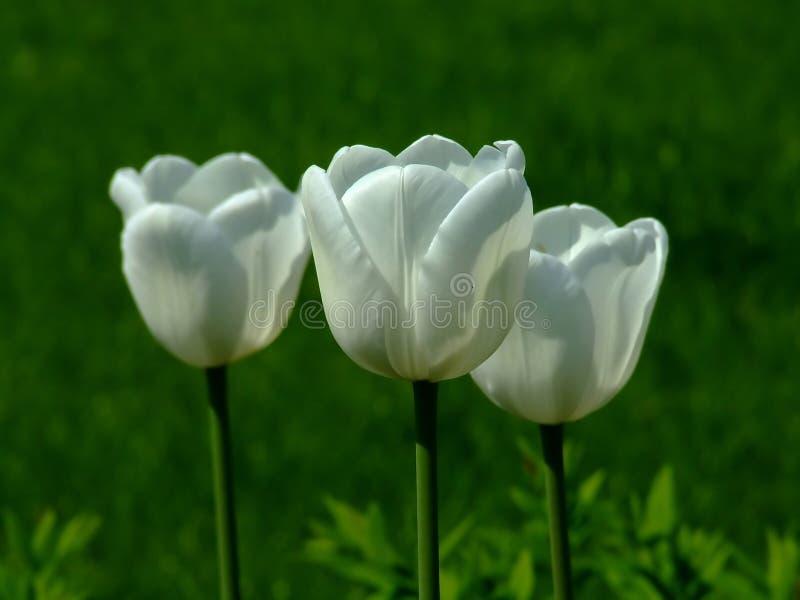 Drie witte tulpen royalty-vrije stock foto