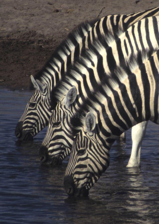 Drie zebras royalty-vrije stock foto's