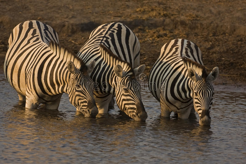 Drie zebras Burchells bij waterhole stock fotografie