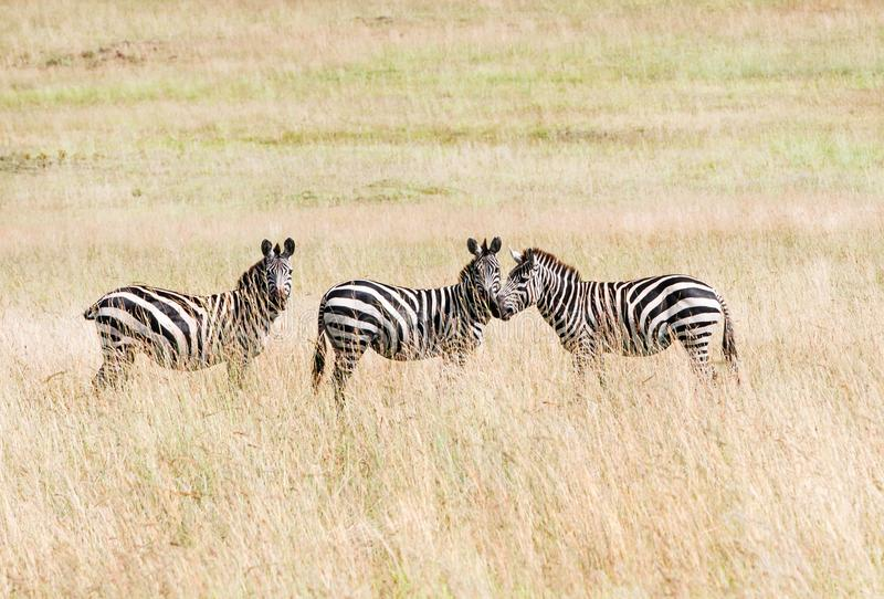 Drie zebras in de savanne stock foto's