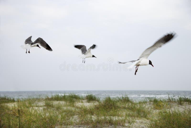 Drie zeemeeuwen die over strand vliegen. royalty-vrije stock foto's
