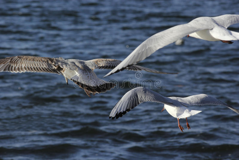 Drie zeemeeuwen tijdens de vlucht stock foto's