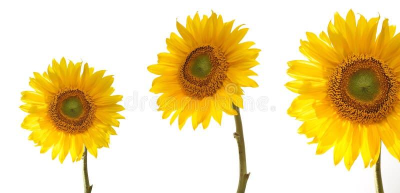 Drie zonnebloemen royalty-vrije stock foto's
