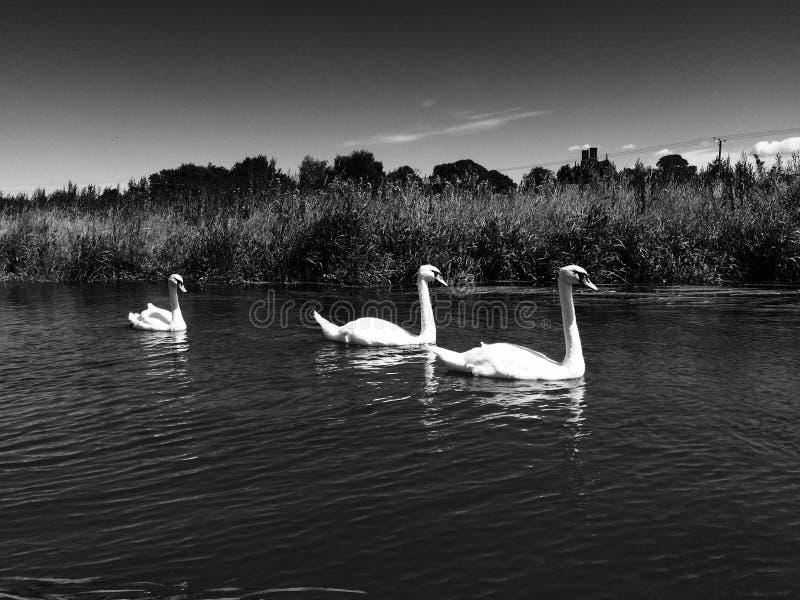 Drie zwanen op een rivier stock foto's