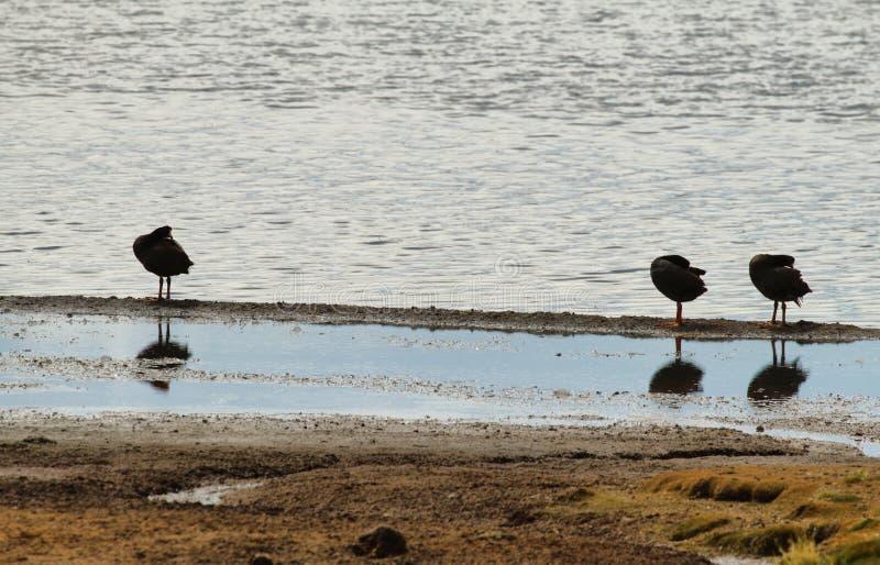 Drie zwarte eenden die in Meer Chungara gladstrijken royalty-vrije stock afbeeldingen