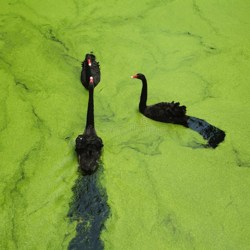 Drie Zwarte Zwanen in het groene meer stock afbeeldingen
