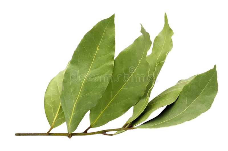 Dried aromatic bay leaf twig isolated on a white background. Photo of laurel bay harvest for eco cookery business. Antioxidant kit stock photo